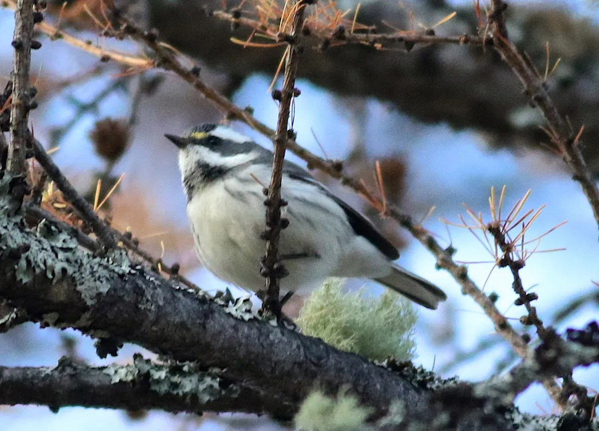 This Black-throated Gray Warbler at Tadoussac 1-9 Nov. (here 1 Nov.) provided a first record for the prolific North Shore region. Photo © by Olivier Barden