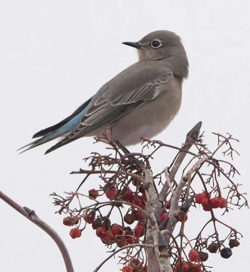 This female Mountain Bluebird appeared at L'Islet 24 Nov. and was last reported 21 Jan. (here 3 Dec.). Photo by © Lucien Lemay.