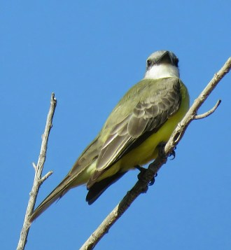 Numerous voice recordings confirmed this Couch's Kingbird at Bosque del Apache N.W.R., Socorro County, New Mexico 5-12 (here 5) November 2016. In New Mexico, confirmed Couch's records outnumber confirmed Tropical Kingbird records by 11 to one. Photo by Anna Wright.