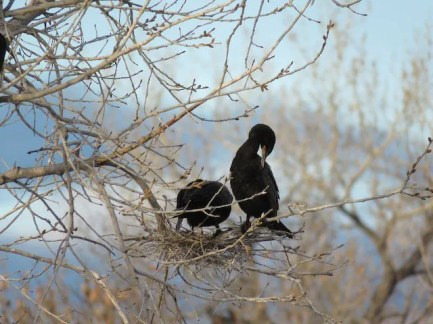 This Neotropic Cormorant pair nest-building at the Tingley ponds in Albuquerque, Bernalillo County, New Mexico 19 February 2017 established the most northerly breeding yet by the species in the state. Photo by © David L. Hawksworth.