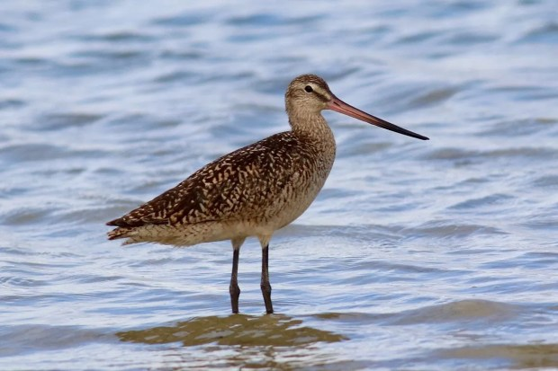Marbled Godwits are uncommon on the Gulf Coast of Alabama in summer. Six was the high count for the summer, with one photographed 8 July 2018 at Dauphin Island, Mobile. Photo by Ronald Newhouse.