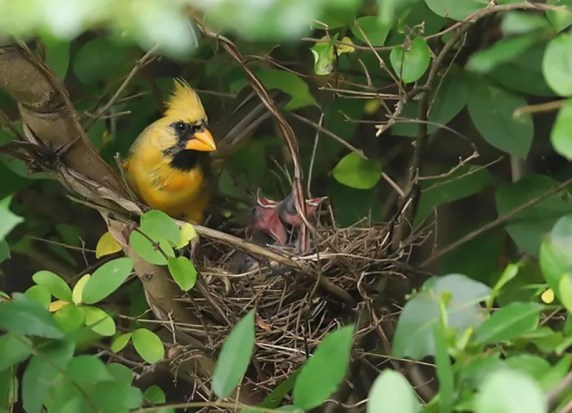 The famous xanthochromic male Northern Cardinal at Alabaster, Shelby nested this spring and summer and successfully fledged one young (here 31 May 2018). Photo by Jeremy Black.