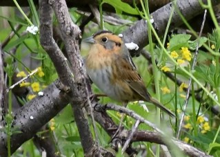 This Nelson's Sparrow, photographed at the Times Beach Nature Preserve on 4 June, was the first June record for the Buffalo, NY area. Most appear in November. Photo by © Josh Ketry.