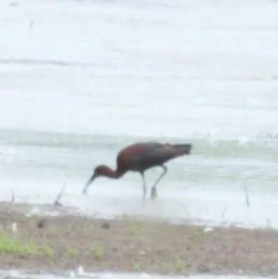This Glossy Ibis in Lauderdale, Tennessee 2 Jun was one of two reported from the state this season. Photo © Mark Greene.