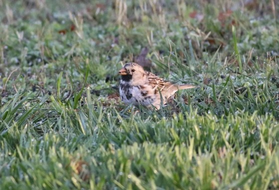 This Harris's Sparrow in Bledsoe, TN 21 Mar–2 Apr (here 21 Mar) was rare for the region, and likely represents the first record for southeast Tennessee. Photo © Kevin Calhoon.