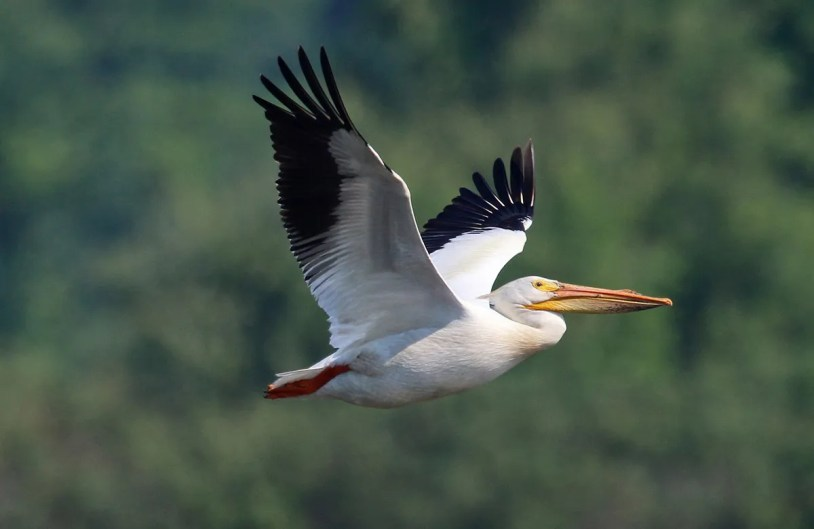 By all appearances, the American White Pelican is slowly pushing its way into Québec, especially the northwest. This individual was present in the south at Maskinongé 18–26 Jun 2020 (here 21 Jun 2020). Photo by © Daniel Jauvin.
