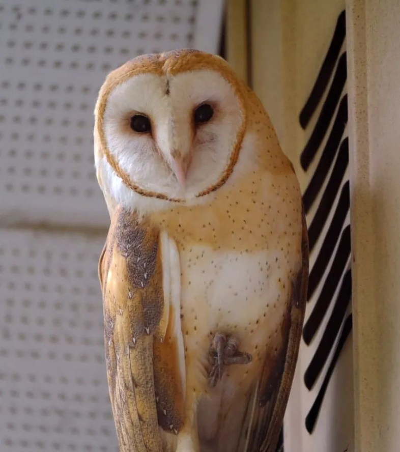 Extremely rare at any time in the province of Québec—even more in winter— this Barn Owl has been found roosting now and then (here 26 Dec 2020) on the back porch of a private property at Saint-Jean-sur-Richelieu 25 Dec 2020–18 Jan 2021. Photo © Gérald Rémillard.