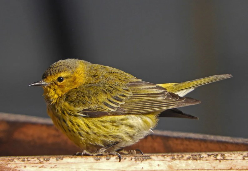 Any warbler in winter in the Prairie Provinces is rare, making this Cape May Warbler at Calgary, Alberta, here on 29 Jan 2021, a nice find. Photo © Ray Wershler.