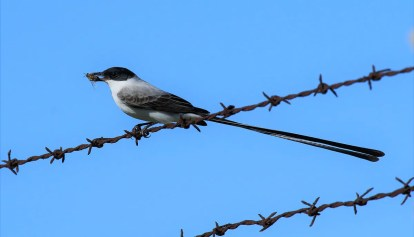 The recent flurry of Fork-tailed Flycatchers in Texas continued when another was discovered in Texas City, Galveston Co, TX on December 29, 2021. Photo 03 Jan 2021. Photo © Martha Hood.