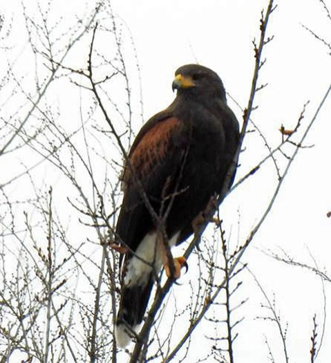 This adult Harris's Hawk in Clark Co, KS 7 Jan–6 Feb 2021 (here 7 Jan) was certainly a surprise find of an incidental southwestern vagrant in the Southern Great Plains, drawing in many birders. Photo © Vernon Tunnell.