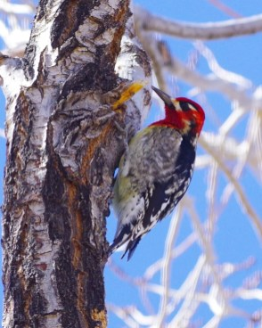 One of two Red-naped x Red-breasted Sapsuckers documented this season, this one was found at the Conquistador Golf Course area in Montezuma Co, Colorado on 7 Feb 2021. Photo © Brenda Wright.