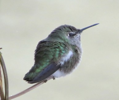 This Anna's Hummingbird at Calgary, Alberta, present since fall, proved quite hardy, as it survived until at least 24 Jan 2021. Photo © Carla Radke.