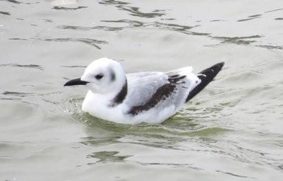This first-cycle Black-legged Kittiwake was a one-day wonder on the Rio Grande near the San Ildefonso Pueblo, where it was a first for Santa Fe County, New Mexico on 12 December 2020. Photo © Arley Dial.