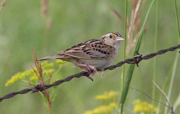 This Grasshopper Sparrow was found in appropriate habitat at Saint-Armand 5–24 Jul 2020 (here 11 Jul 2020), providing a first record for the Brome-Missisquoi regional county municipality. Photo by © David Trescak.