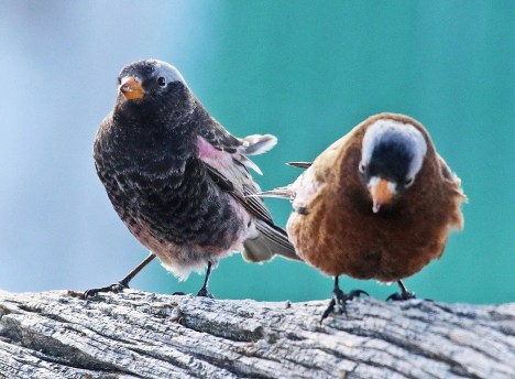 Both Black and Gray-crowned Rosy-Finches were abundant this season with many reports in many counties including this Black Rosy-Finch (left) and Gray-crowned Rosy-Finch found by Rachel Hopper in Weld Co, Colorado on 18 Jan 2021. Photo © Dave Leatherman.