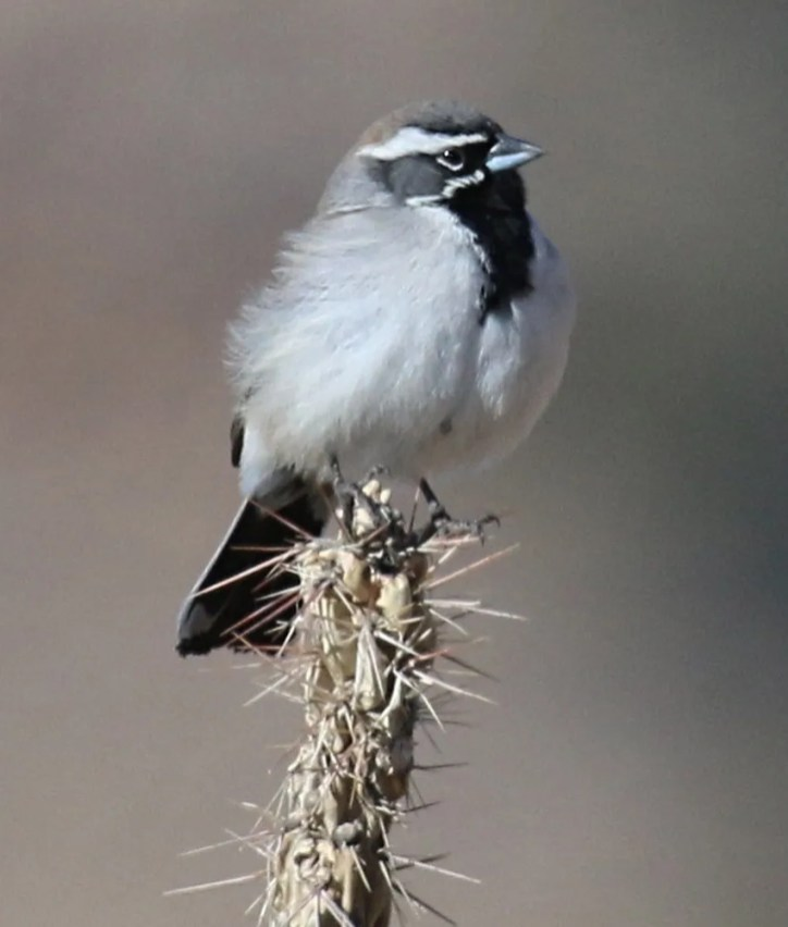 Black-throated Sparrow had not been seen in this area of Colorado in the winter until two years ago, where it has now been found each year after. This bird was one of six found on this day along Higbee Road in Otero Co on 7 Feb 2021. Photo © Joey Kellner.