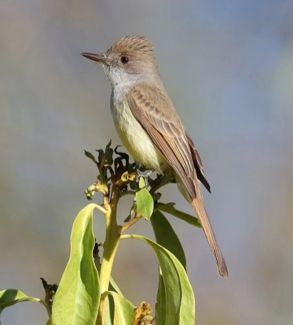 This Dusky-capped Flycatcher, photographed on 15 Dec 2020, was known to be present at North Clairemont Community Park in San Diego, San Diego Co 7 Dec 2020–24 Jan 2021. Only two or three of these flycatchers are known in California most winters, primarily in the coastal lowlands, so they continue to attract birders and bird photographers. Photo © Matthew Bins.