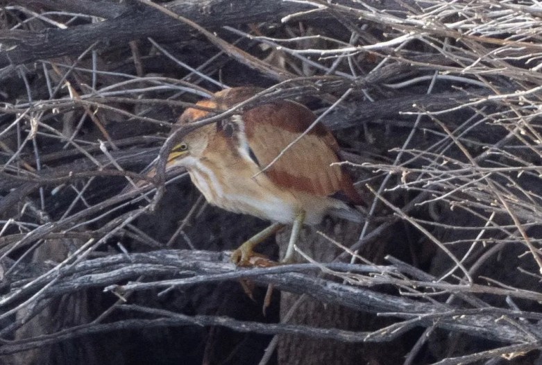 This Least Bittern was an exceptional winter find at Paseo del Rio, Elephant Butte Lake State Park, Sierra County, New Mexico on 12 Dec 2020. Photo © Phil Chaon.