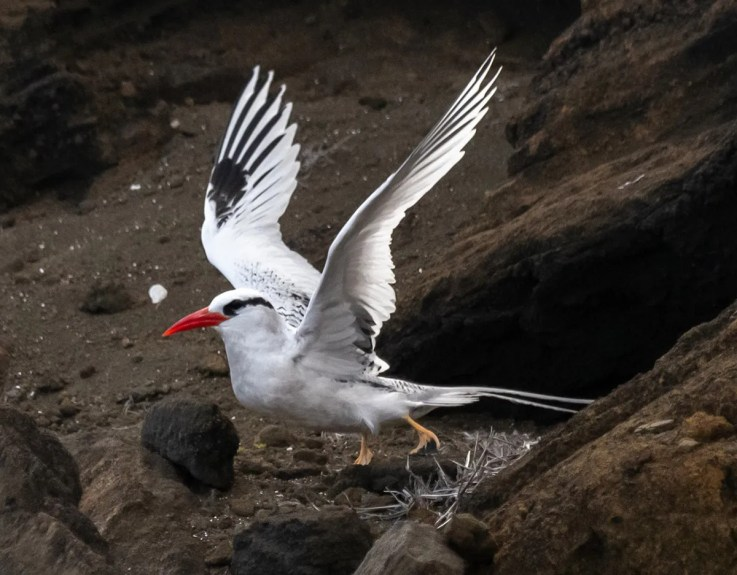 Since 2018, this Red-billed Tropicbird has been associated with a growing Red-tailed Tropicbird colony near Lānaʻi Lookout, Oʻahu, Hawaii. 13 Jan 2021. Photo © Walter Oshiro.