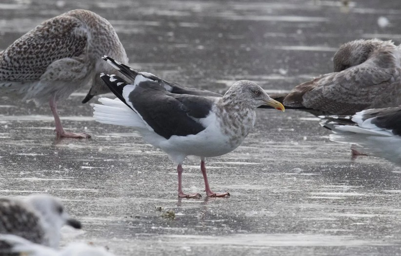 Slaty-backed Gull is no longer a stranger to NL yet this individual at Quidi Vidi Lake, St. John's still created a lot of excitement. Here photographed 16 Feb 2021. Photo © Bruce Mactavish.