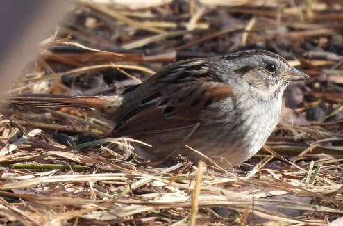 This Swamp Sparrow, seen here on 29 Dec 2020, made it through the winter at FortWhyte Alive, a nature centre in Winnipeg, Manitoba. It was seen by many. Photo © Marlene Waldron.