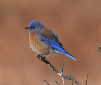 While photographing the abundance of Mountain Bluebirds invading this winter, here in the Wichita Mountains W.R., Comanche Co, Oklahoma on 1 Jan 2021, it was quite the surprise to discover six Western Bluebirds among them. These are the first to be documented in the main body of Oklahoma. Photo © Jeff Fitzgerald.
