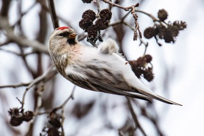 A New England irruption of Hoary Redpolls had birders sharpening their ID skills and asking taxonomic questions. This individual, present from 13 Jan 2021 into March (here 15 Jan), attracted many observers to Nod Brook WMA in Avon, Hartford Co, Connecticut. Photo © Chris Wood.