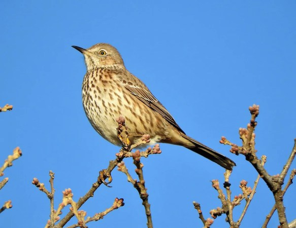 Infrequently noted eastward in Oklahoma, this Sage Thrasher 3 Jan 2021 in the Wichita Mountains W.R., Comanche Co was an exciting find. Photo © Brian Marra.
