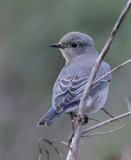 The extraordinary occurrence of Bermuda's first Mountain Bluebird was photographed here at Port Royal GC on 2 Feb 2021. It was present from 24 Feb into March. Photo © Richard Brewer.