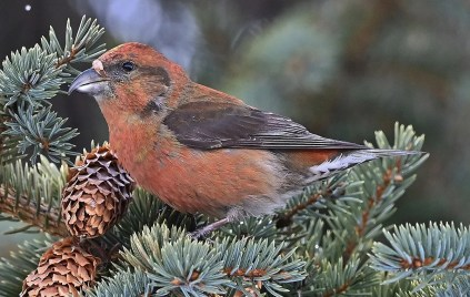 Red Crossbills were widespread in southern Québec during winter 2020-2021. This male was photographed at Sorel 1 Mar 2021. Photo © André Lanouette.