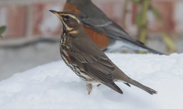 One of three Redwings this season for NL, this individual was in St. John's, here photographed 30 Jan 2021. Photo © Bruce Mactavish.