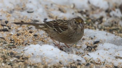 An accidental visitor to Nova Scotia, this Golden-crowned Sparrow was in Rothesay 11–14 Feb 2021. Here photographed 11 Feb 2021. Photos © Hank Scarth.