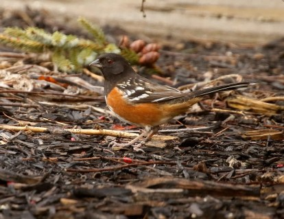 This Spotted Towhee was an exceptional visitor to Nova Scotia 18 Jan+ and provided the province with its second record of the species. Here Photographed 3 Feb 2021. Photo © Mark Dennis.