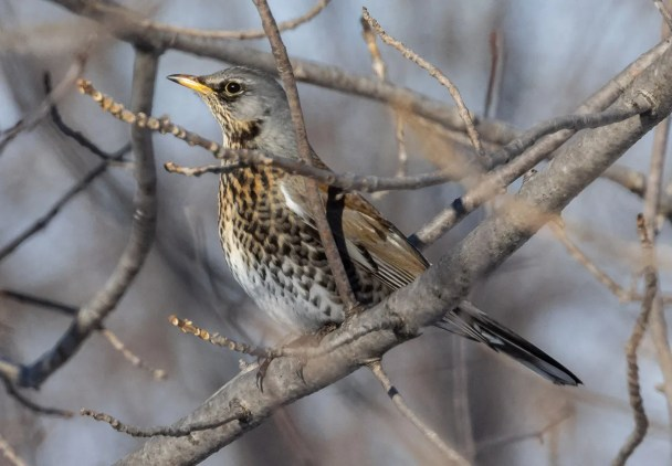 This Fieldfare, a very rare visitor from Eurasia, was feeding with American Robins at Lévis 13 Jan–1st Feb 2021 (here 31 Jan 2021), providing the 9th record for the province of Québec, but the first in the last decade. Photo © Frédérick Lelièvre.