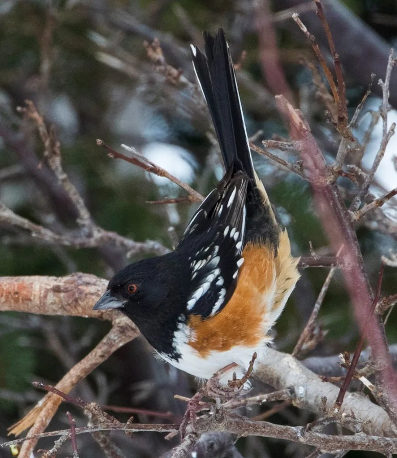 This Spotted Towhee was an accidental visitor to feeders on the Burin Peninsula; NL late February remained for the duration of the season. Here photographed in 4 Mar 2021. Photo © Bruce Mactavish.