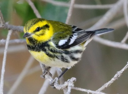 It was a good fall for Black-throated Green Warblers on the Baja California Peninsula, with four reported. But surpassing those was this rare apparent Black-throated Green x Townsend's Warbler at El Rosario, Baja California. After reviewing photos of the bird, Jon Dunn and Kimball Garrett emphasized the following differences from pure Black-throated Green: 1) the bold and black transocular line; 2) some blackish stippling in the lateral crown stripes and in the back; 3)the black lower throat and black side streaking showing a more Townsend's like pattern.26 Oct 2020. Photo ©Logan Q. Kahle.