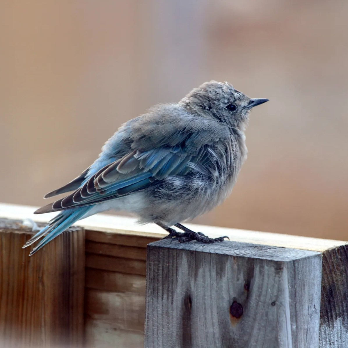 This Mountain Bluebird was photographed 9 Sep 2020 at Ivujivik near the northernmost location in the province of Québec. Photo © Marc Vachon.
