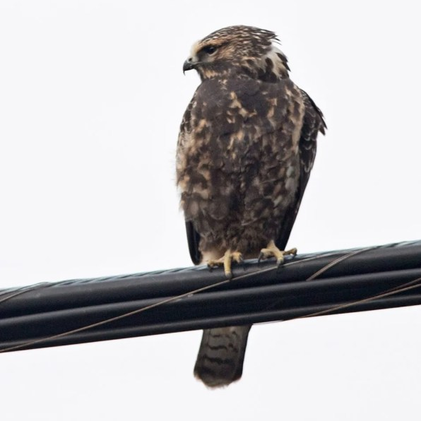 his dark morph juvenile Swainson's Hawk was photographed at Saint-Maurice-de-l'Échourie (Gaspé) 22 Sep 2020. Photo © Vanessa Cotton.