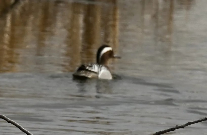 This Garganey near Steinbach, Manitoba on 25 Apr 2021 represented the third confirmed record for the province. The photographer discovered the bird only when he was editing his photos later at home; it could not be found again. Photo © Don Reimer