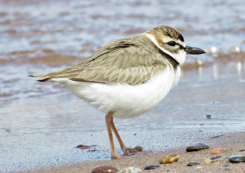 Minnesota's fourth Wilson's Plover, photographed here 15 May 2021, was present from 14–16 May at Duluth's renowned Park Point. All previous records are from the same location. Photo © Dana Sterner.