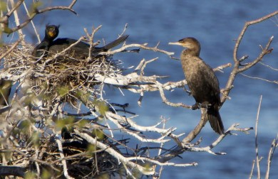 This first-year Neotropic Cormorant was the second for the province of Québec and also for the town of Gatineau. Photographed here on 26 April 2021, it was present 22 April–15 May. Photo © Normand Laplante.