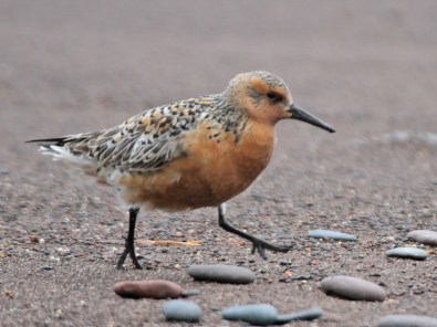 One of four reports of this casual species, this Red knot was found in Knife River, Lake Co, Minnesota on 27 May 2021. Photo © Mike Hendrickson.