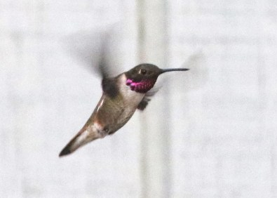 Oregon's first Rufous x Black-chinned Hummingbird visited a feeder in Springfield, Lane Co 30 Apr. This hybrid and the state's only Anna's x Black-chinned Hummingbird both occurred west of the Cascades, where Black-chinned Hummingbirds are vagrants; both hybrids look a lot like Black-chinned Hummingbirds and may be easier to overlook where the latter is common. Photo © Noah Strycker.