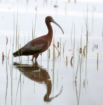 An influx of both White-faced and Glossy Ibis occurred this spring. This White-faced Ibis was seen by many in Collingwood, Simcoe Co during its one day stay on 22 May. Photo © Anthony Glenesk.