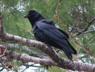 This Fish Crow photographed here at Magog, Québec on 25 April 2021, was one of a small group of three first identified on 11 April and present through the end of the period. Photo © Chantal Labbé.