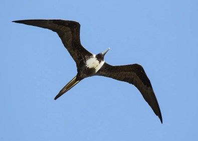 Point Pelee's long-overdue first Magnificent Frigatebird delighted a large crowd of birders in southern Ontario. Here 2 Jul, 2017. Photo © Darlene Friedman.