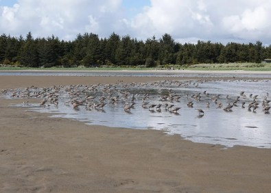 Most spring Red Knots bypass the state en route to staging grounds in coastal Washington, and it is not uncommon for only a few dozen to occur in a given spring. The state high prior to this year was 143 at Tillamook Bay on 10 May 1976. That record was shattered this year when hundreds staged at Trestle Bay near the S. Jetty Columbia River, Clatsop Co in the middle of May peaking at 600+ on 18 May as pictured here. Other remarkable tallies occurred up and down the coast, with 150 at Siletz Bay, Lincoln Co 15 May and 136 at Oregon Dunes Overlook, Douglas Co 12 May. Sustained north winds during May might have contributed to this phenomenon. Photo © Diana Byrne.