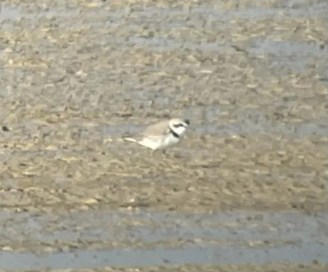 A Snowy Plover probed the mudflats 4–6 Apr 2021in the Dry Lakes Area, Canyon Co, Idaho. Photo © Cheryl Huizinga.