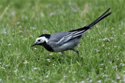 Birders from across the region descended on Fort Monroe in Hampton Co, where a cooperative White Wagtail (White-faced) spent a week starting on 12 Apr. Not only a first for Virginia, but also the first for the Middle Atlantic. Photo © Derek Hudgins.