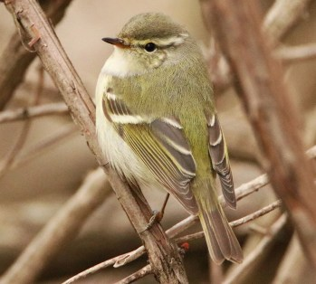 Representing the first record for Ontario, second for Canada, and first fully documented for eastern North America, this Yellow-browed Warbler, photographed here on 24 April in Mississauga, Peel Co, was viewed by many birders during its brief stay. Photo © Dennis Dirigal.
